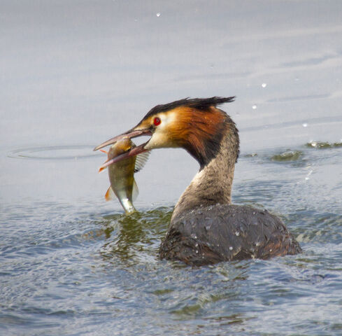 File:Great-crested Grebe with perch 37 SMALL.jpg