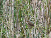 Reed warbler sncp 13 may 2014