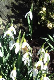 Bee on snowdrops