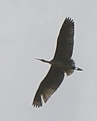 File:Bird over Hutchinsons 2 Aug 2015 cropped.jpg