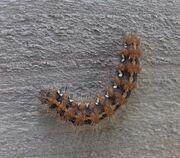 Jersey tiger caterpillar