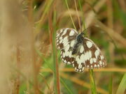 Marbled white SNL 20 July 2014