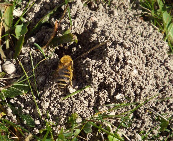 File:Ivy bee 1.jpg