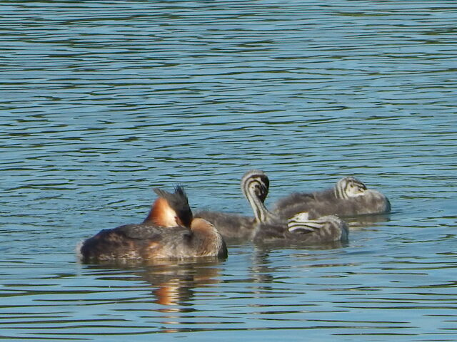 File:Grebe and young.jpg
