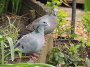 Stock dove pair