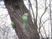 Ring-necked Parakeets 1