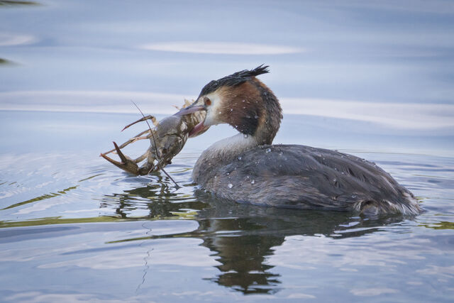 File:Great-crested Grebe with crayfish.jpeg