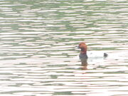 Pochard SNL 26 May 2014