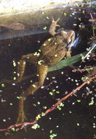 File:Coulsdon frog cropped.jpg
