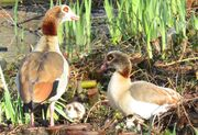 Egyptian Geese cropped
