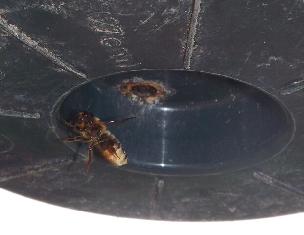 File:Leraf cutter bee.jpg