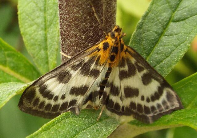 File:Moth cropped.jpg