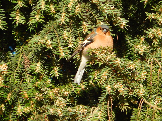 File:Chaffinch SNL 24 Feb 2014.jpg