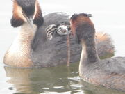 Grebes with chick SNL 22 April 2014