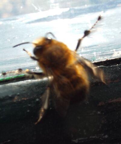 File:Bee 2.jpg