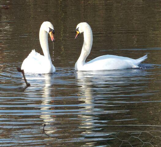 File:Swans.jpg