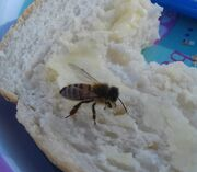 Bread and butter bee