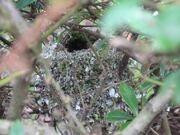 L-t Tit nest