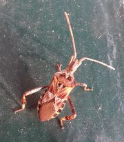Western cone seed bug