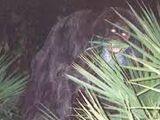 Southern Bigfoot