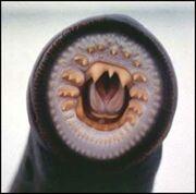Bessielamprey-mouth-300x296