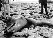Moores-beach-monster