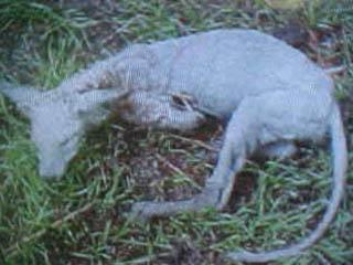 File:Chupacabra in texas.jpg