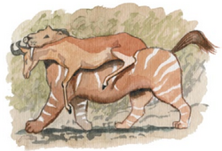 Mountain tiger carrying prey, Coudray