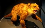 Thylacoleo at museum