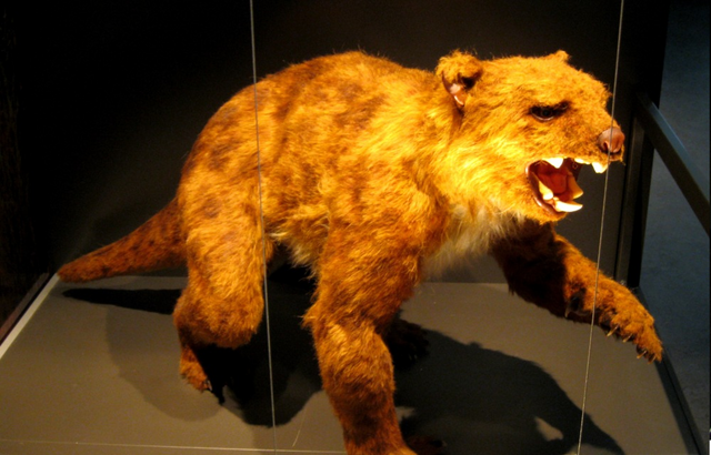 File:Thylacoleo at museum.png
