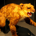 Marsupial lion at museum, CUBED.png