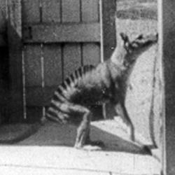 Thylacine CUBED