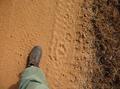 Thylacoleo tracks.png