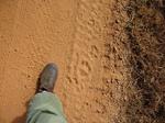 Thylacoleo tracks