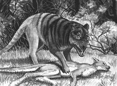 Queensland tiger, William Rebsamen