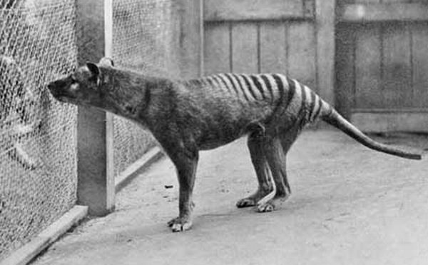 File:Thylacine photograph.png