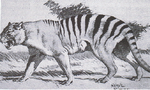 Marsupial lion accurate reconstruction