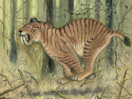 South American sabre-tooth Coudray