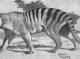 Queensland tiger