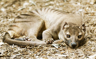 File:Thylacine at London Zoo.png