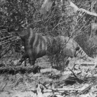 (1) Rilla Martin photograph of the 'Ozenkadnook tiger'.