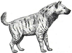 Pachycrocuta