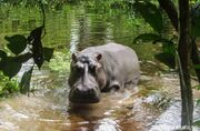 Hippopotamus in the rainforest