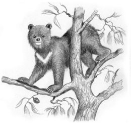 Nepalese tree bear Coudray