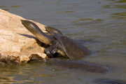 African softshell turtle