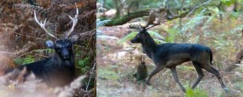 Melanistic Elk