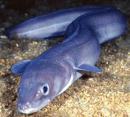 Conger-conger-european-conger-eel