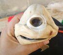 Cyclops Shark