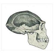 Skull of erectus