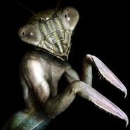 Mantis man2